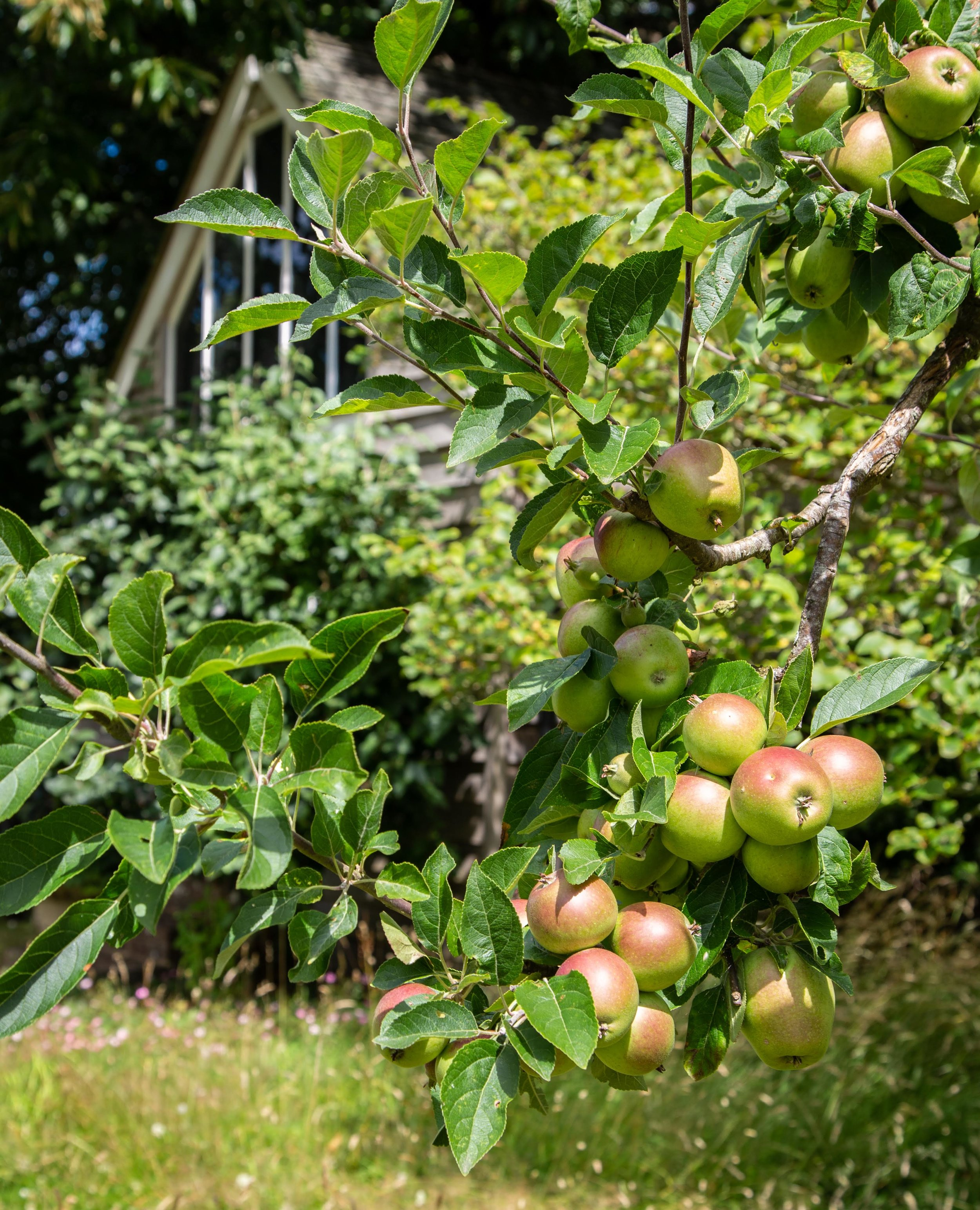 MH apple tree and writing shed **.jpg