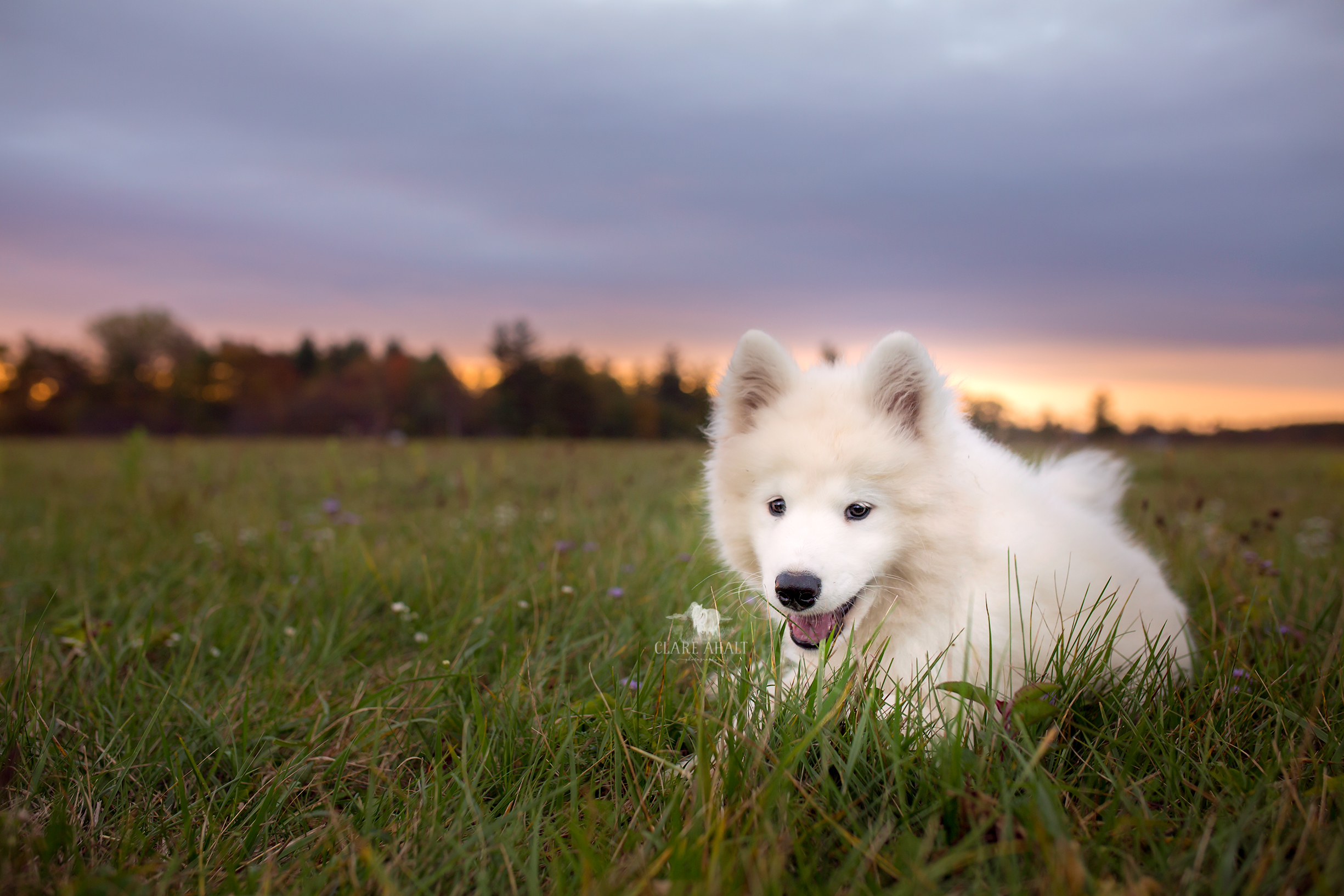 Pet portrait of a samoyed puppy photographed in Potomac MD by Clare Ahalt Photography, a fine art portrait photography located in Frederick MD