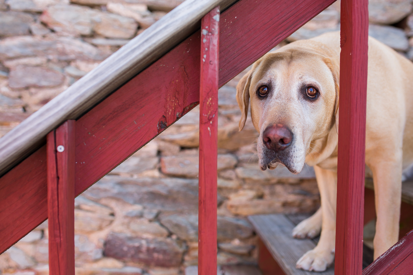 Copy of Pet portrait of a yellow lab dog photographed in Potomac MD by Clare Ahalt Photography, a fine art portrait photography located in Frederick MD