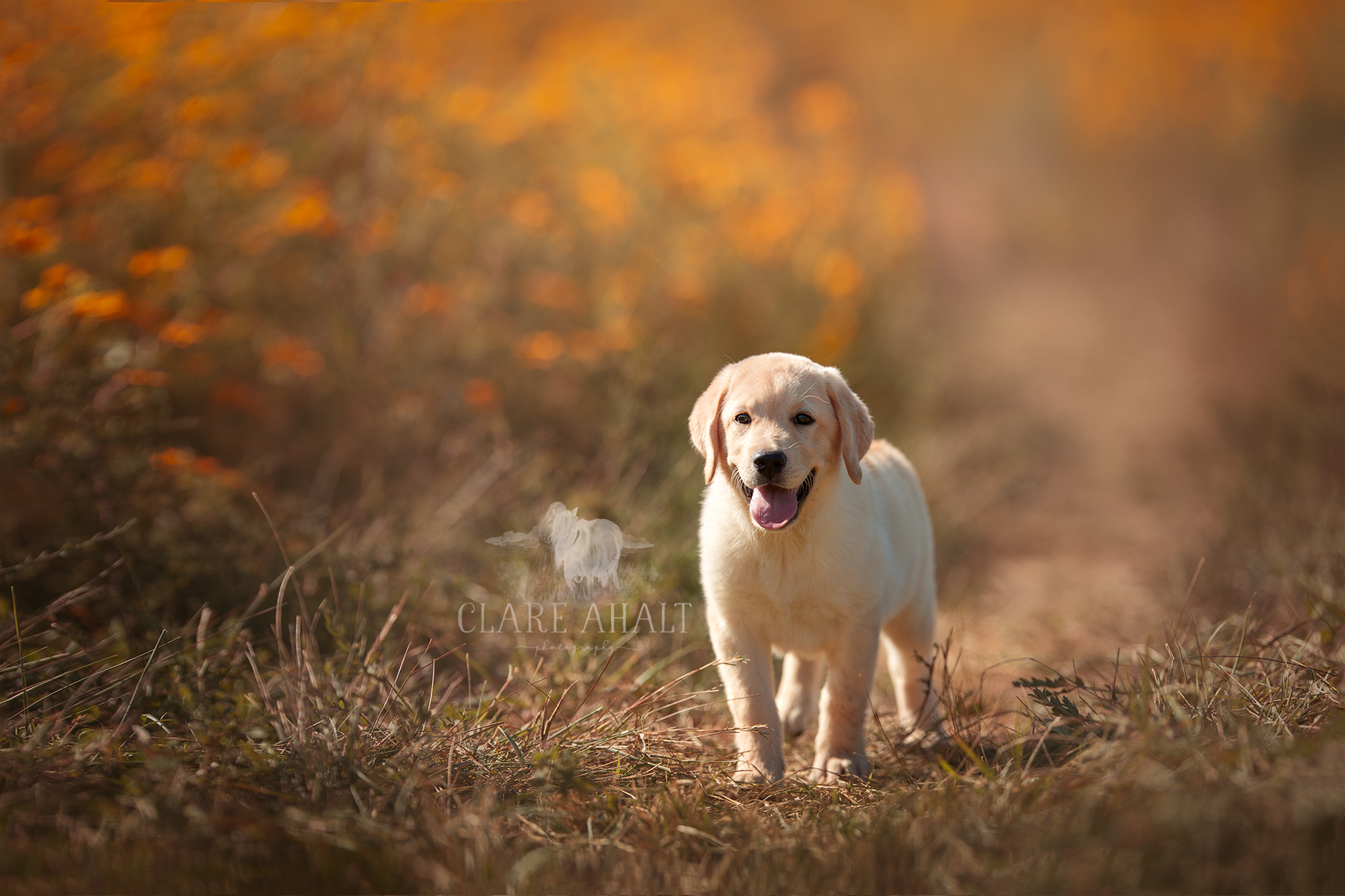 Portrait of a yellow lab in a field by Clare Ahalt Photography, a fine art portrait photographer located in mid-Maryland