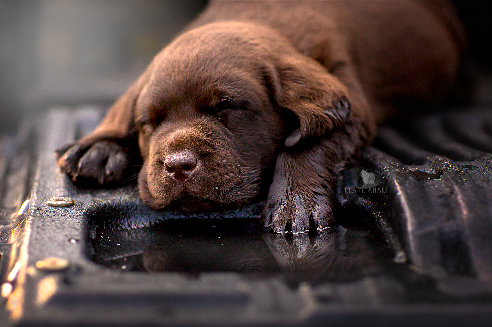 Pet portrait of a chocolate lab puppy, photography by Clare Ahalt Photography, a fine art portrait photographer located in Maryland.  Photographed during a workshop by Elena Shumilova Photography on location in Northern Virginia