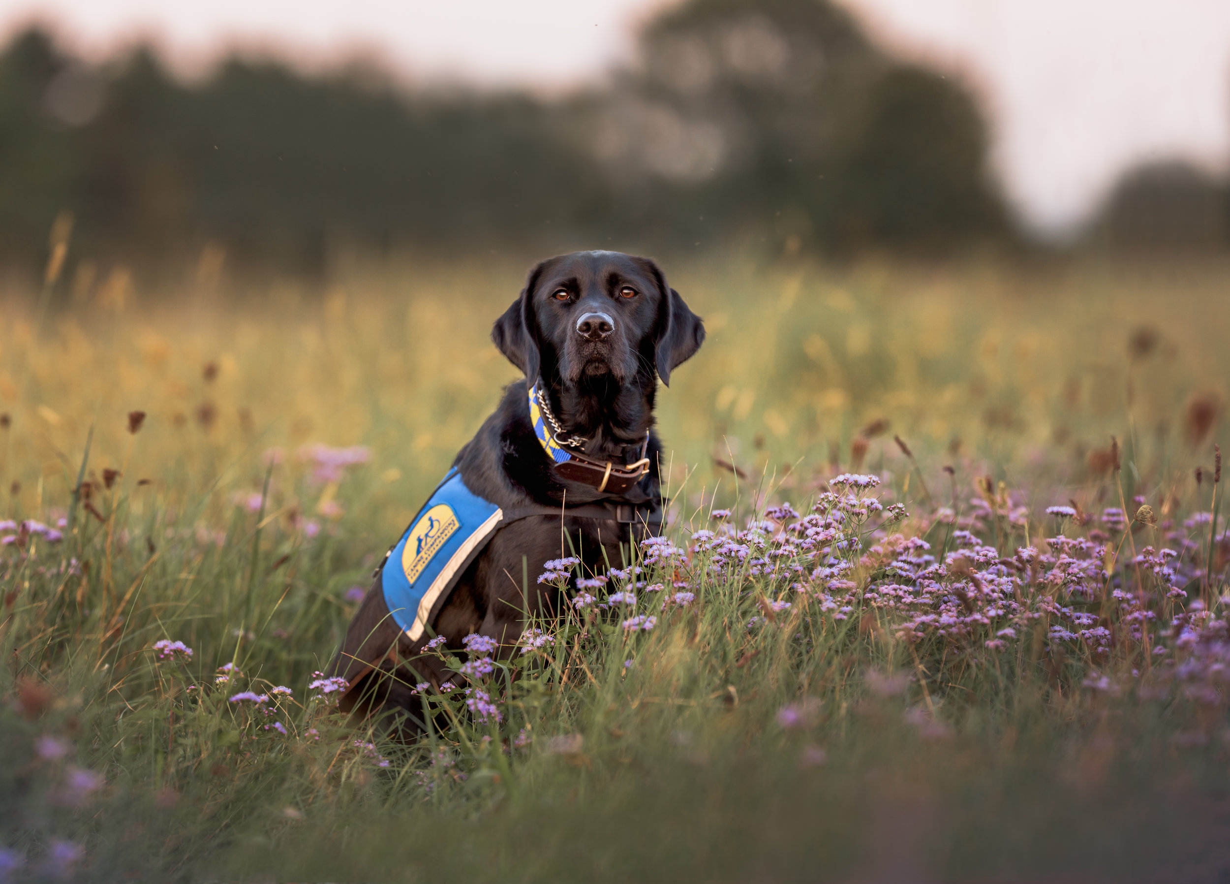photographer_pet_portrait_potomac_MD_black_lab_photograph_service_dog.jpg