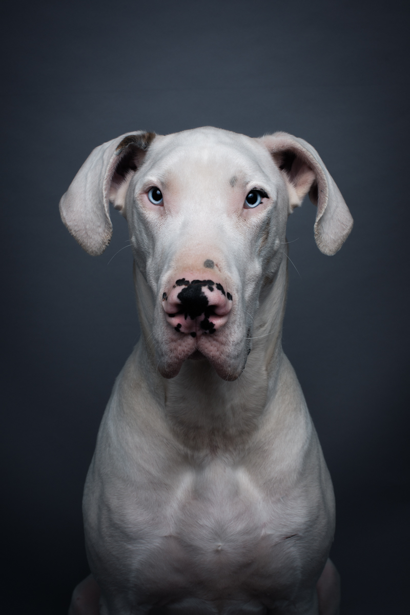 pet portrait of a Great Dane, photographed by Clare Ahalt photography on location in Potomac MD.