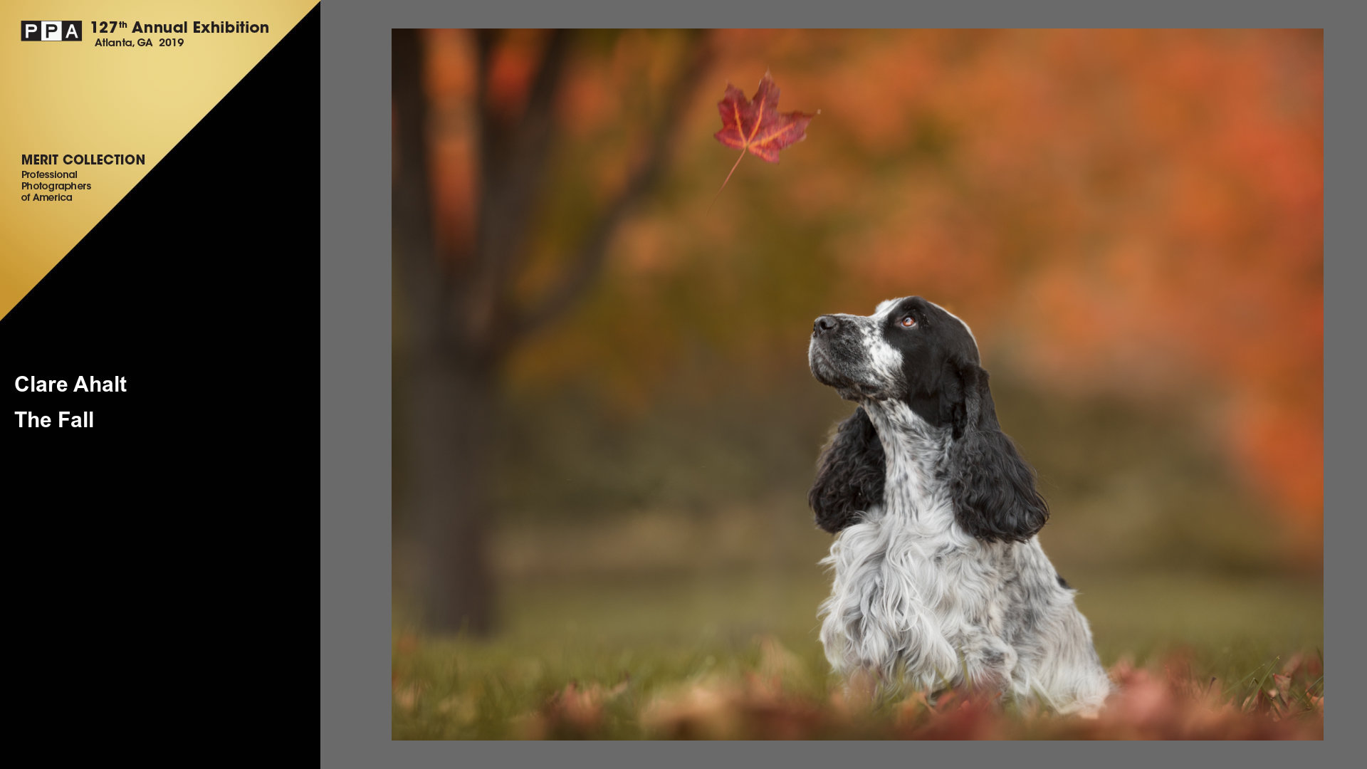 Pet portrait of a cocker spaniel photographer on location in Potomac MD by Clare Ahalt Photography, a fine are pet portrait photographer located in Maryland