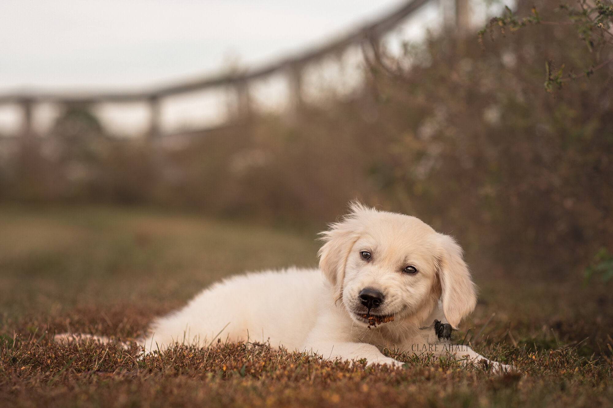 pet_portrait_photgorapher_potomac_MD_pet_photographer_middletown_MD_Pet_portraits_maryland_best_pet_portrait_photographer_maryland_golden_retriever_frederick_md-2.jpg
