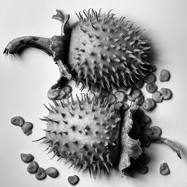 Datura_Outer_BW_EFX_FAEdited2017-07-02 15.21.36.jpg