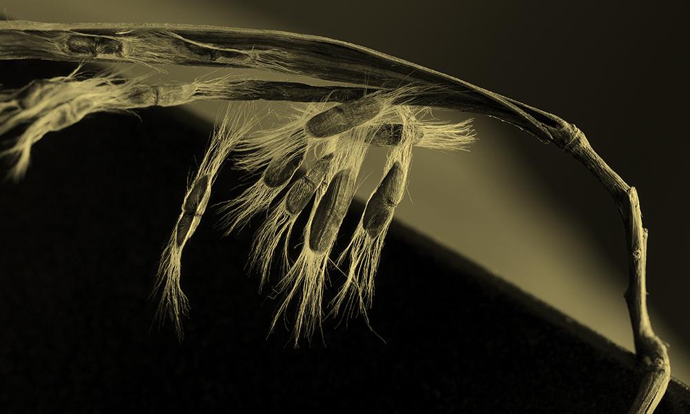 """""""Bending To Forces"""" Aurumprint (ink on vellum over 24 kt gold leaf) Edition 1/5"""