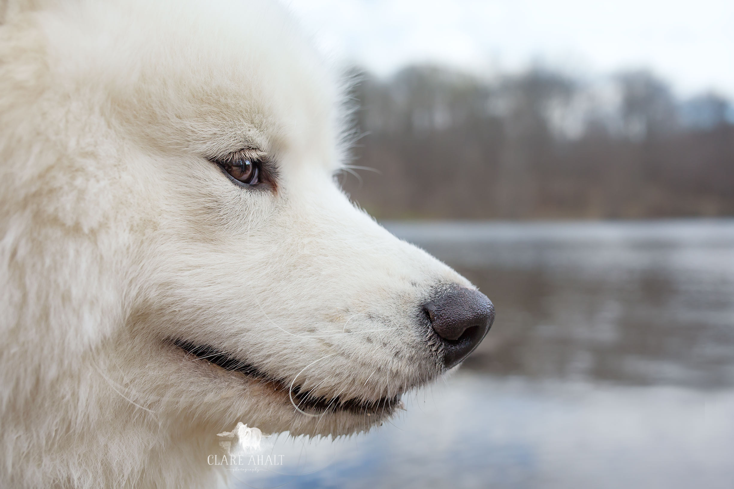 Samoyed, cared for by Frederick County MD Veterinarians at Jefferson Veterinary Hospital.