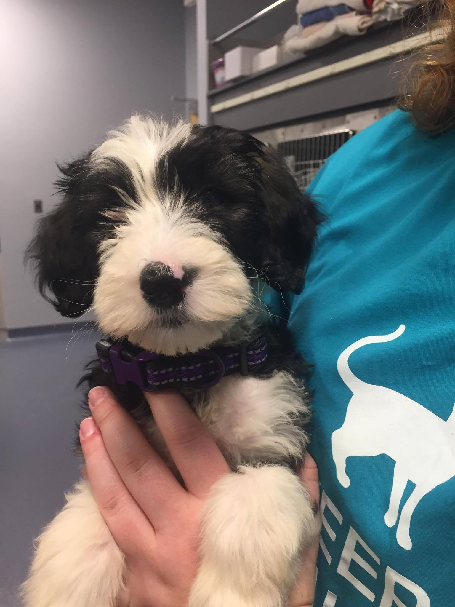 An old English Sheepdog Puppy being seen by a veterinarian in Jefferson MD, located in scenic Frederick county MD