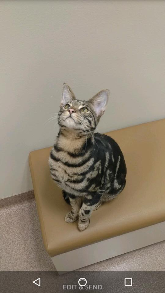 Savannah kitten seeing frederick md veterinarian Dr. Ahalt at Jefferson Veterinary Hospital located in scenic Frederick county md
