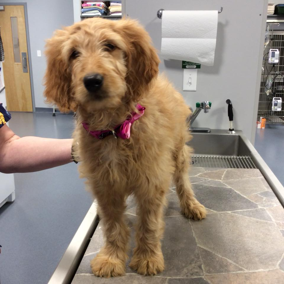 Goldendoodle visiting Jefferson Veterinary Hospital, located in Frederick County MD, for her first well pet puppy visit!