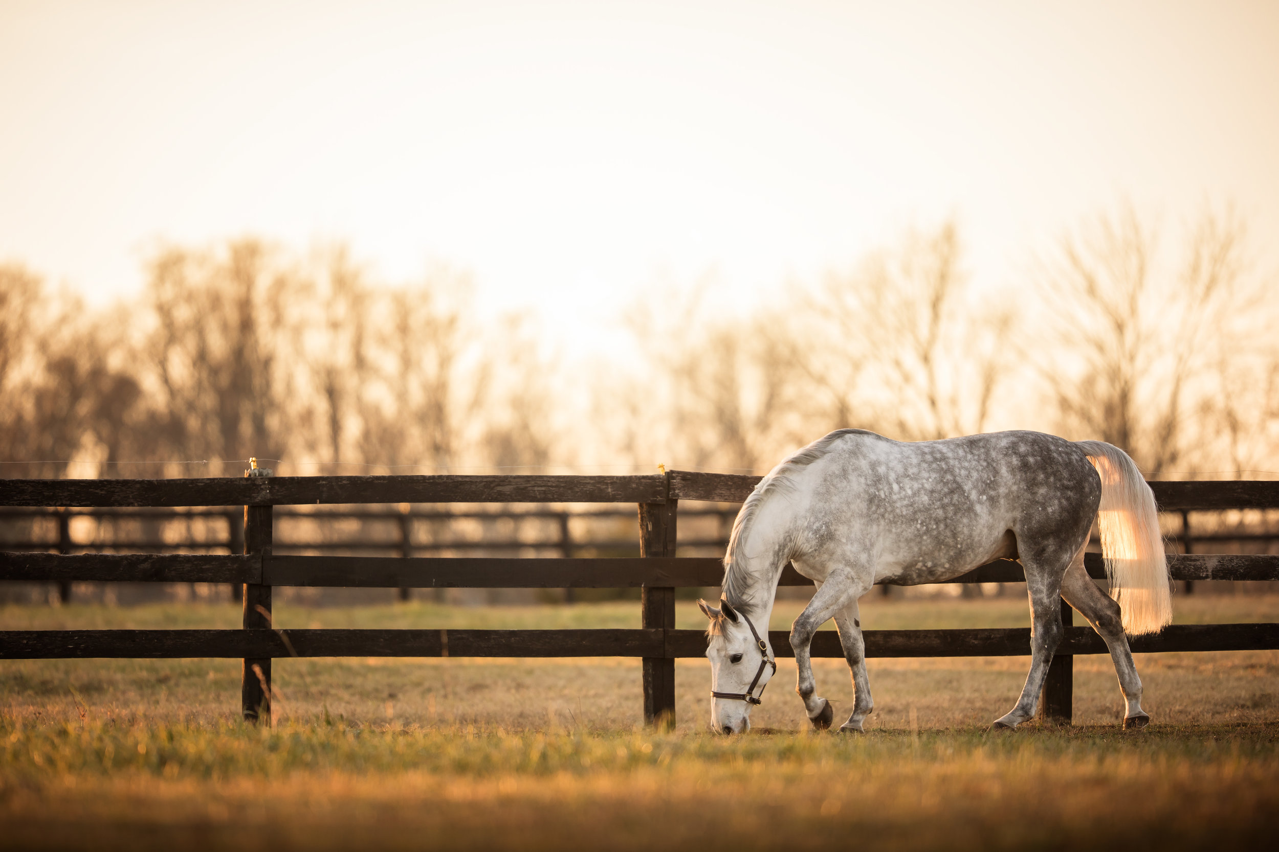 best_equine_photographer_middleburg_va_equestrian_grey_warmblood.jpg