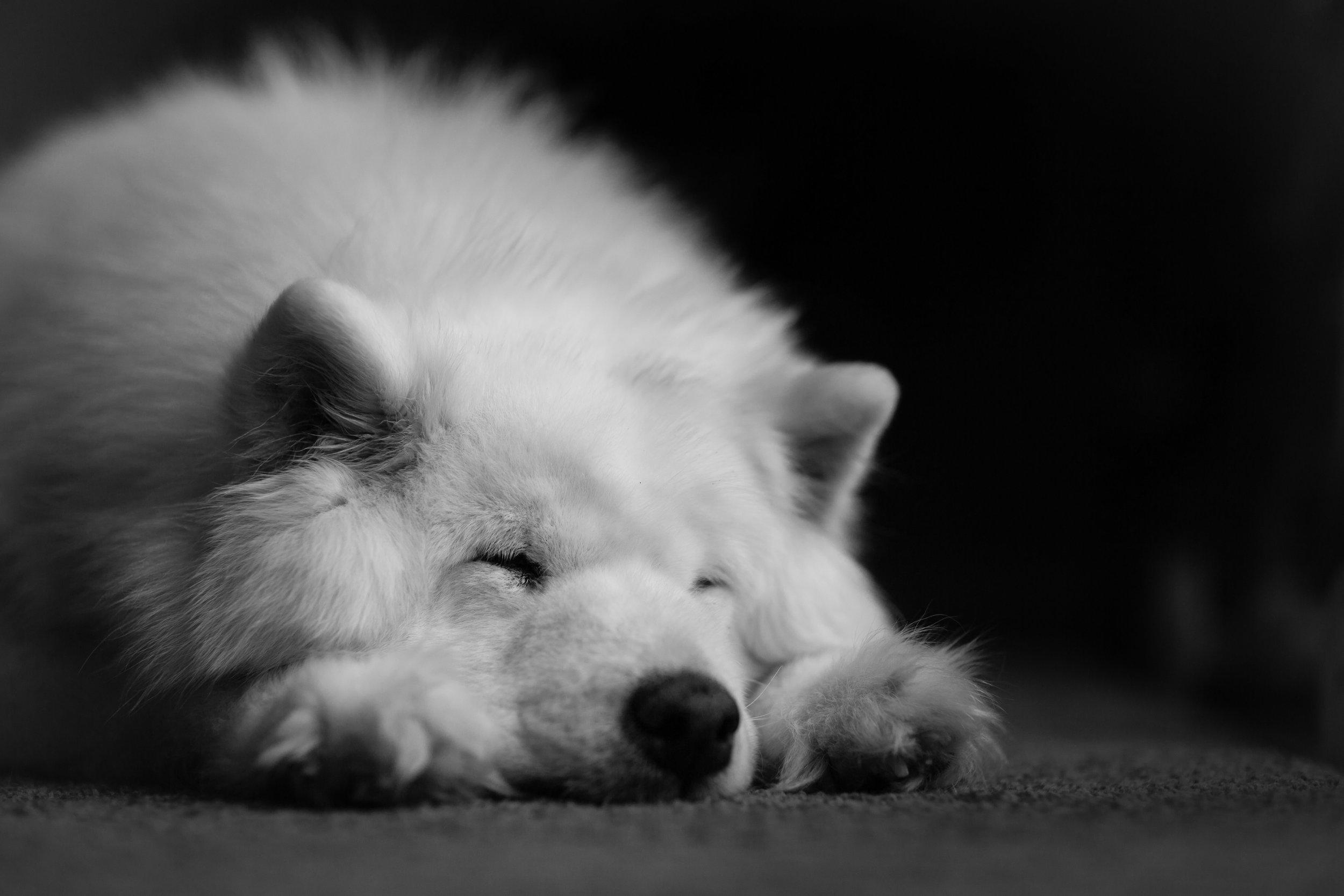 best_pet_portrait_photographer_potomac_MD_samoyed_dog_sleeping.jpg