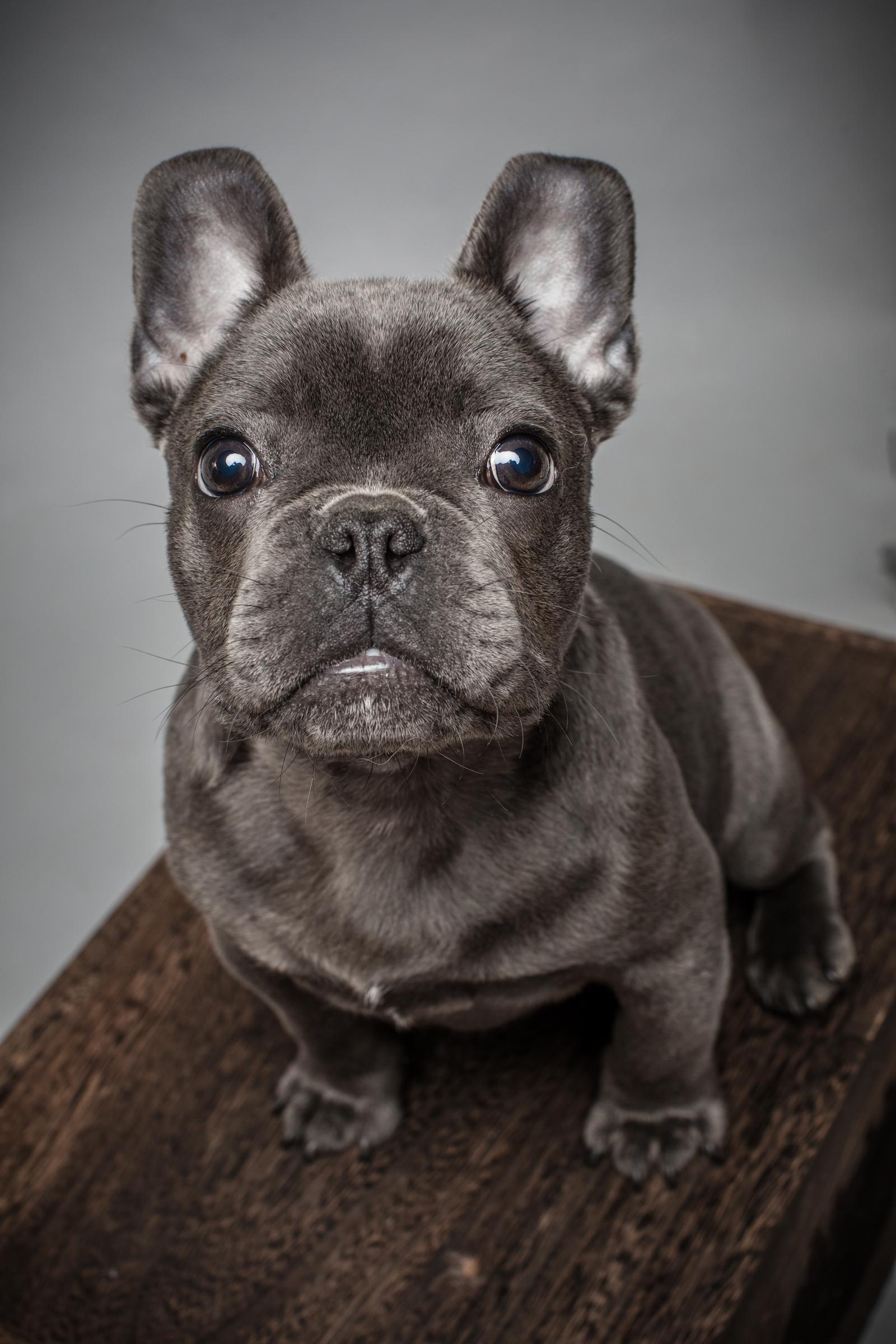 spay_neuter_pet_brunswick_MD_french_bulldog_veterinarian_village_vet_urbana_veterinarian.jpg