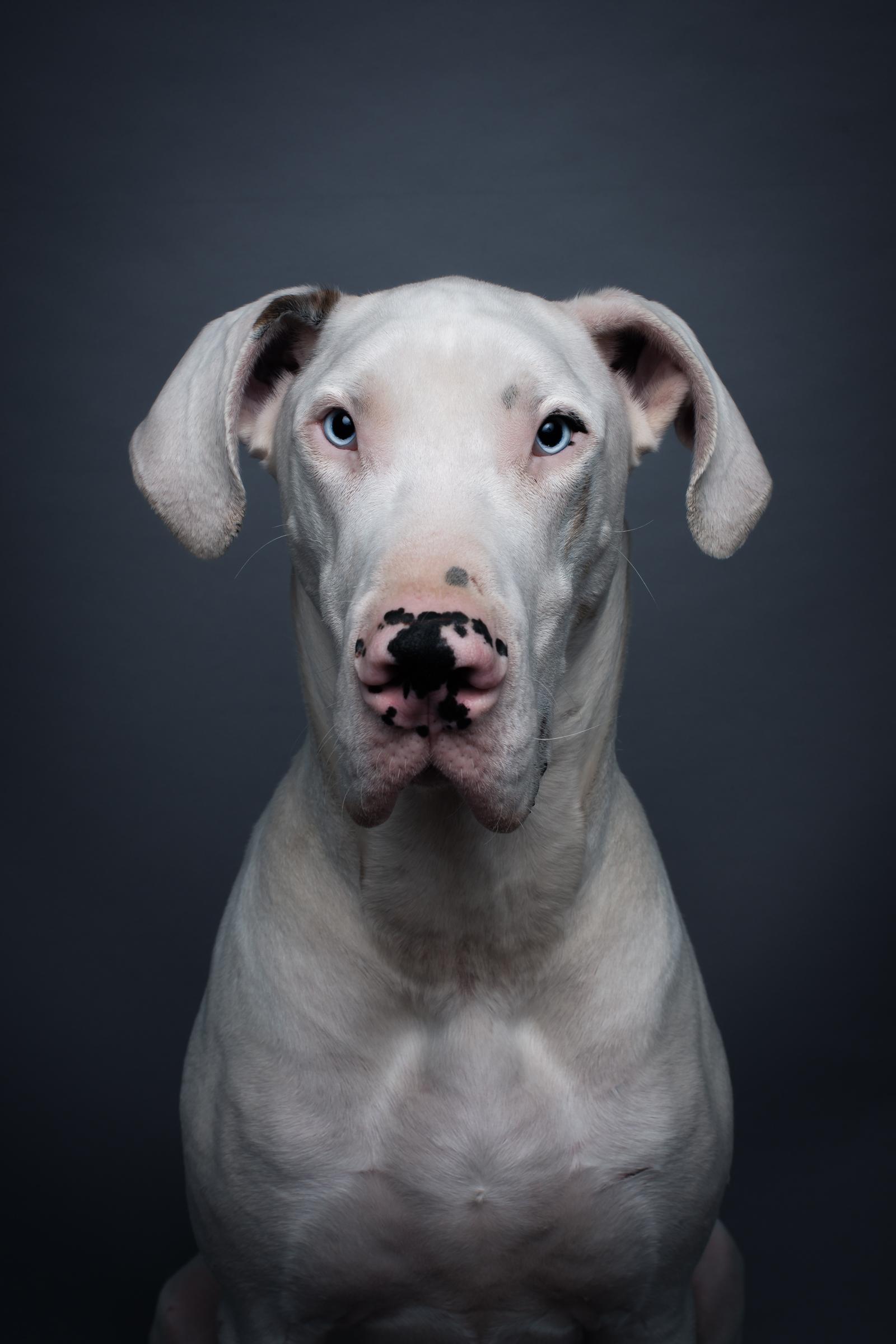 spay_neuter_pet_brunswick_MD_great_dane_veterinarian_village_vet_urbana_veterinarian.jpg