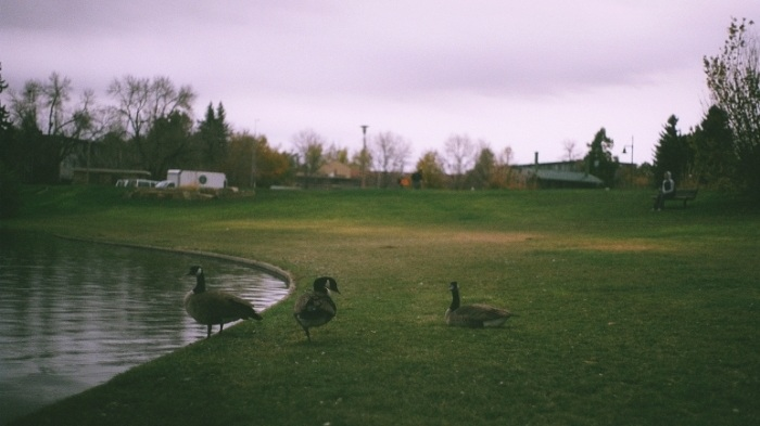 grassy pond geese Stain'd arts film photography