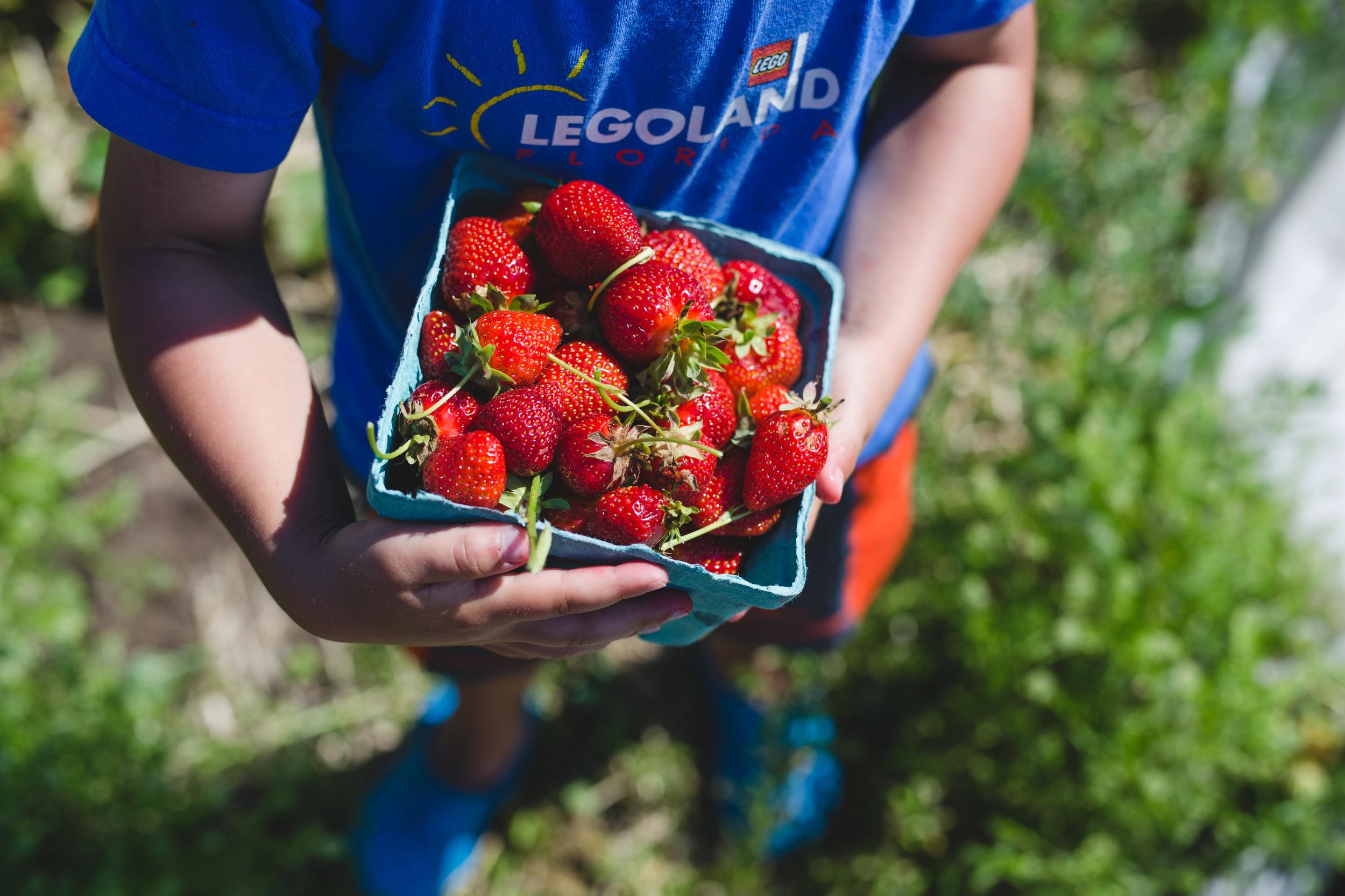 Strawberry picking lehigh valley