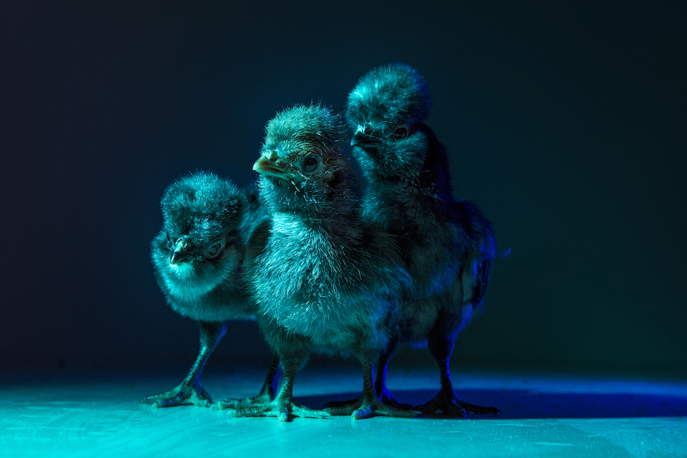 Chic Chicks ©Dan Bannino - Little ones2-Marvin,Joe,Pedro.jpg