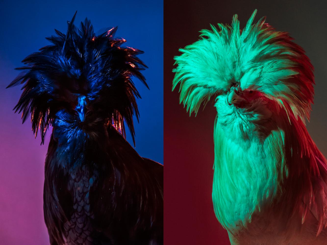 Chic Chicks ©Dan Bannino - Tyson+Chick Norris.jpg