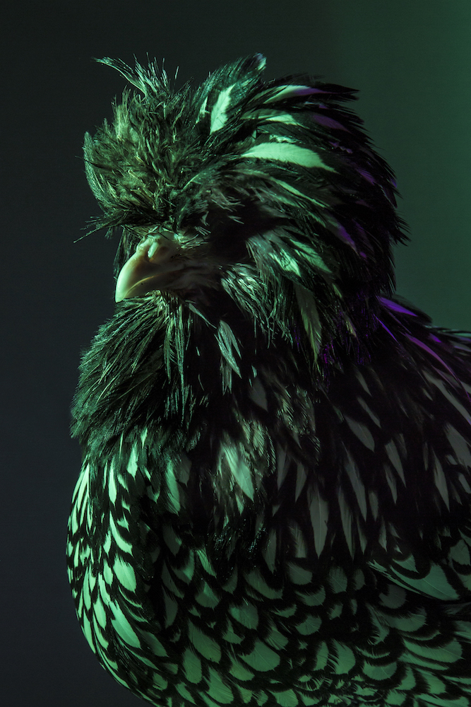 Chic Chicks ©Dan Bannino -Anastacia:Silver laced-.jpg