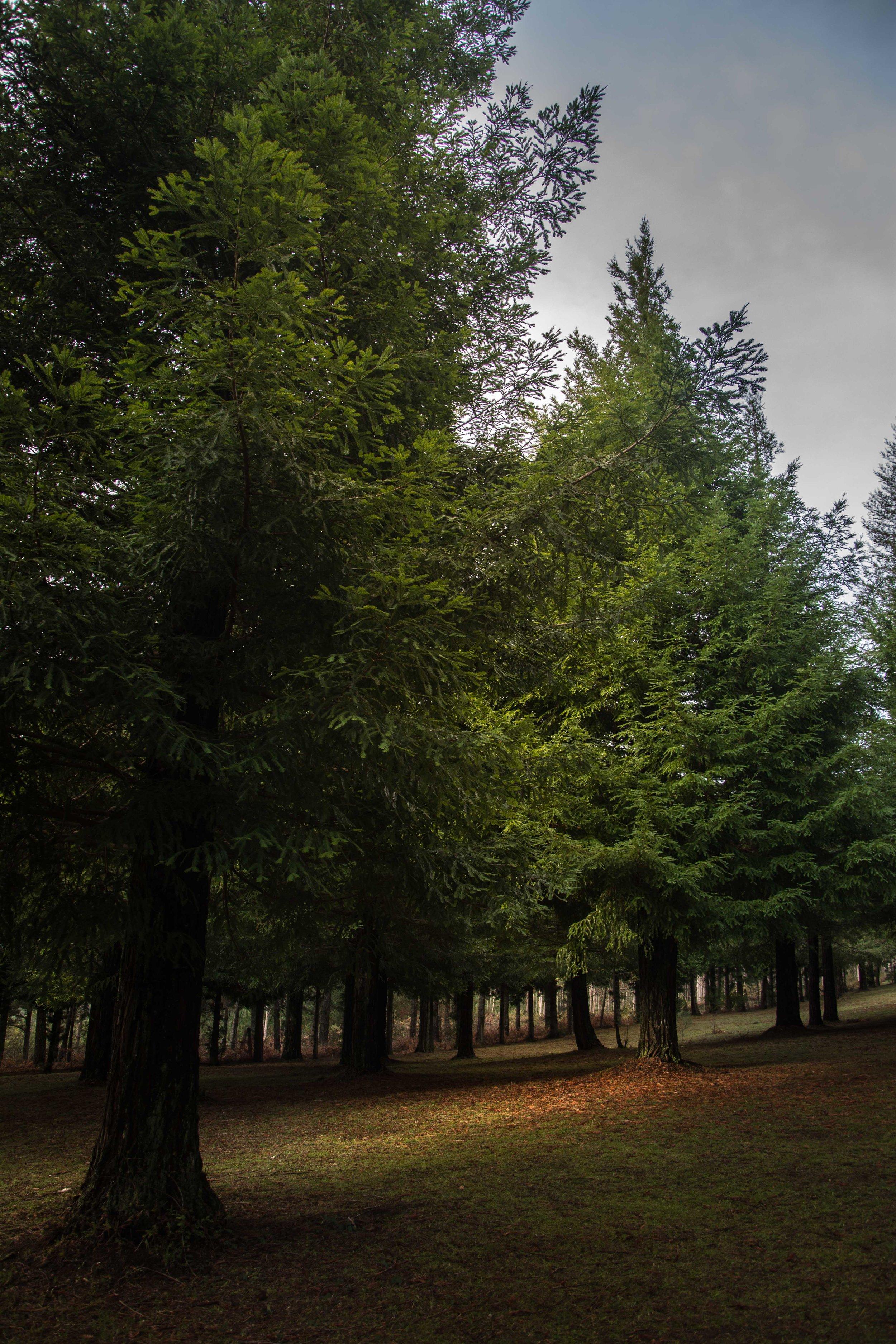 Sequoias-6.jpg