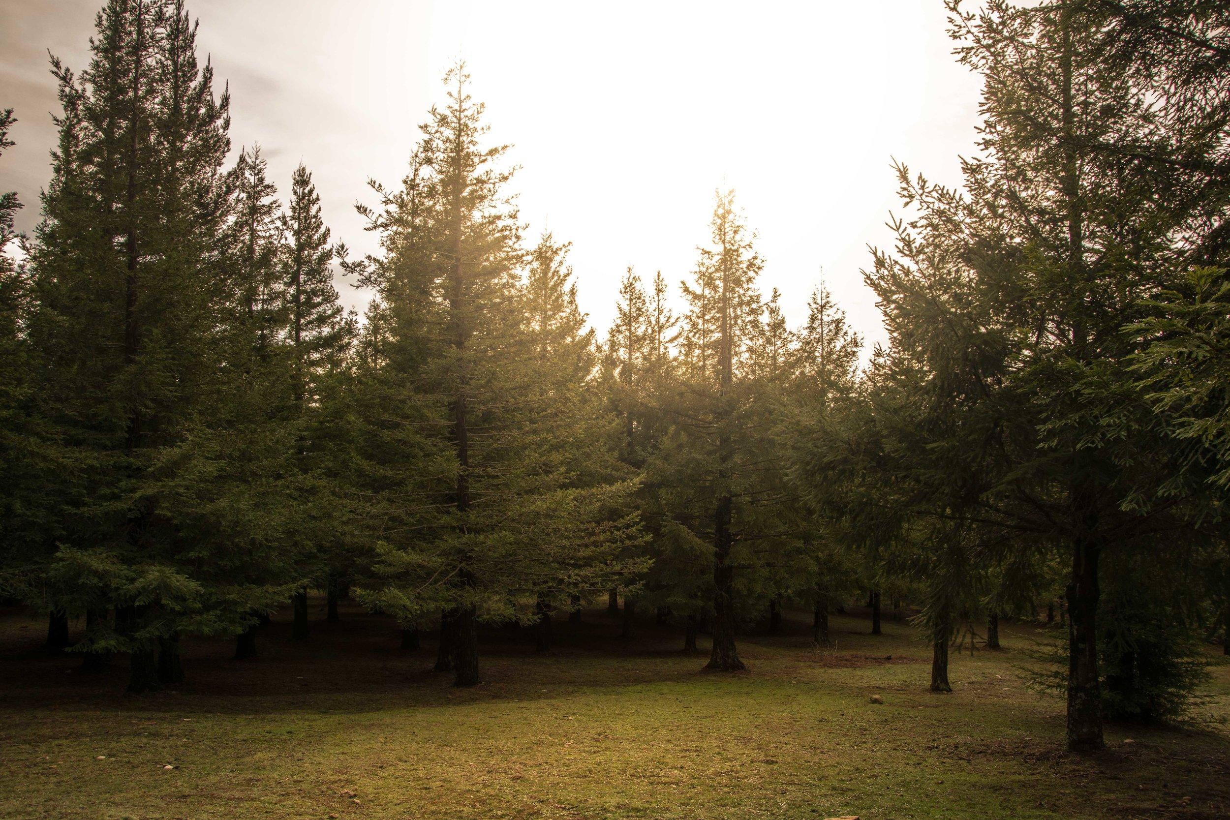 Bosque de sequoias en Poio. Galicia