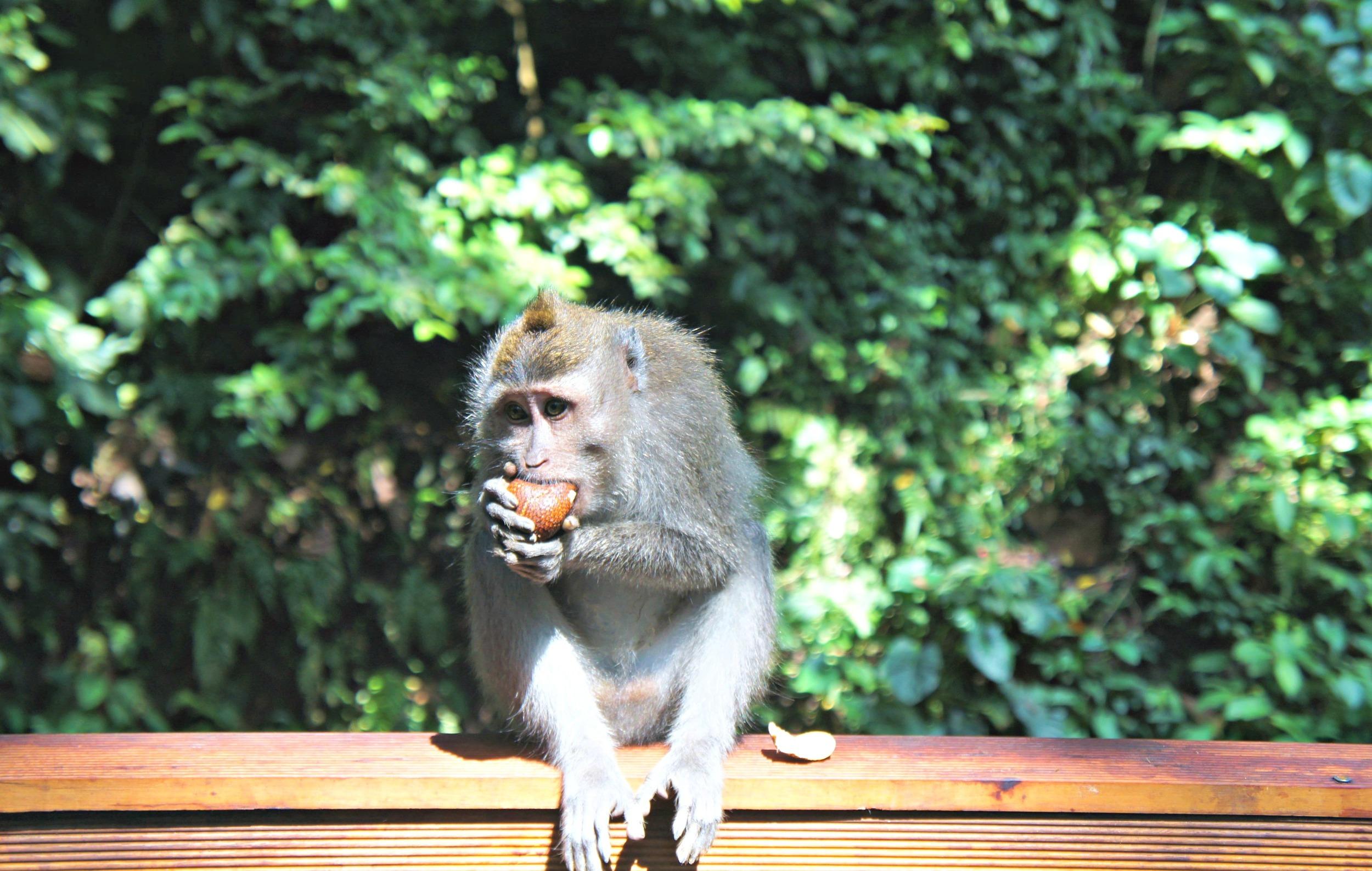 Monkey Forest Monkey Eating