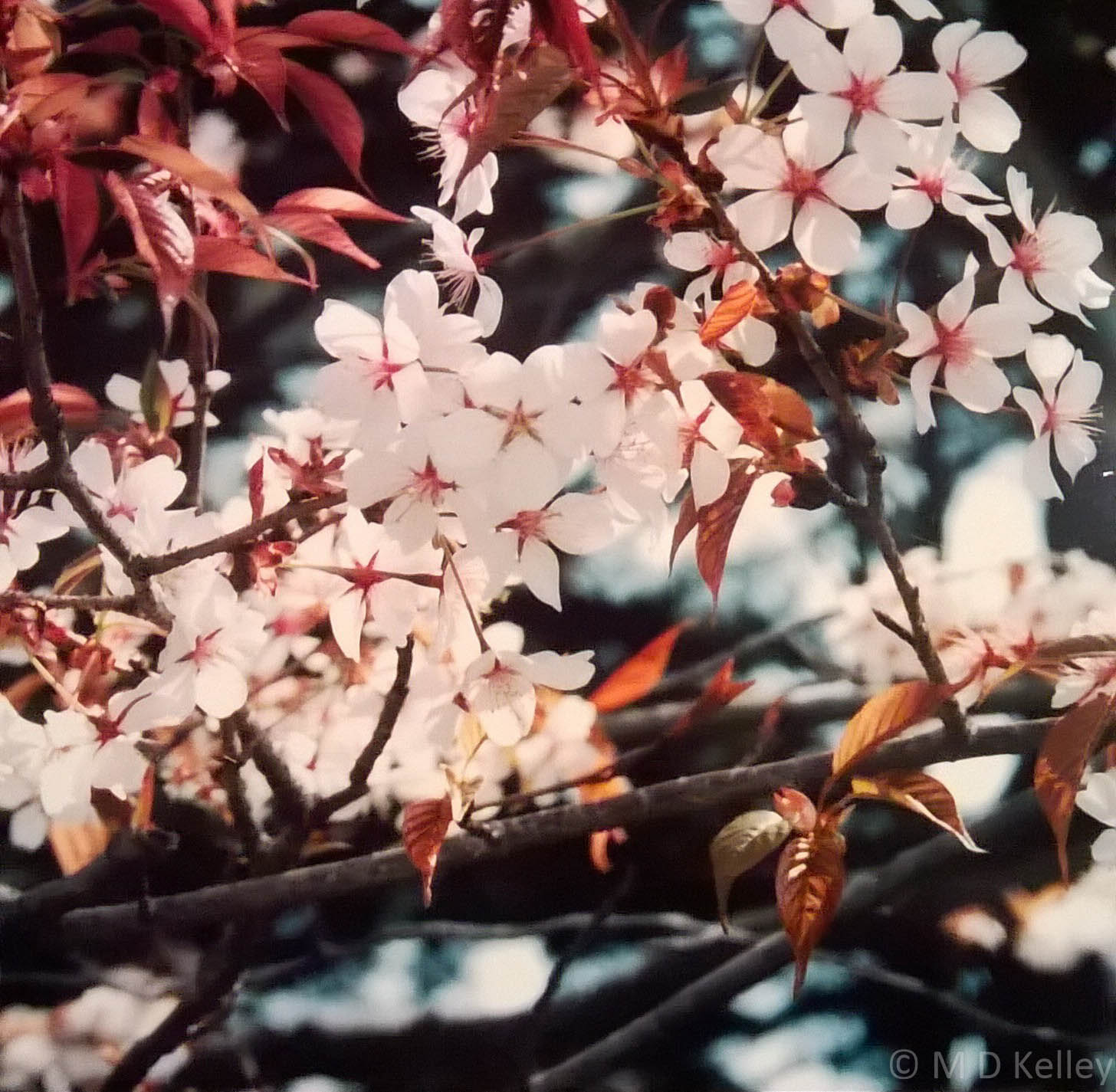 Cherry Blooms at Himeji Castle, Japan, Canon Sureshot.jpg