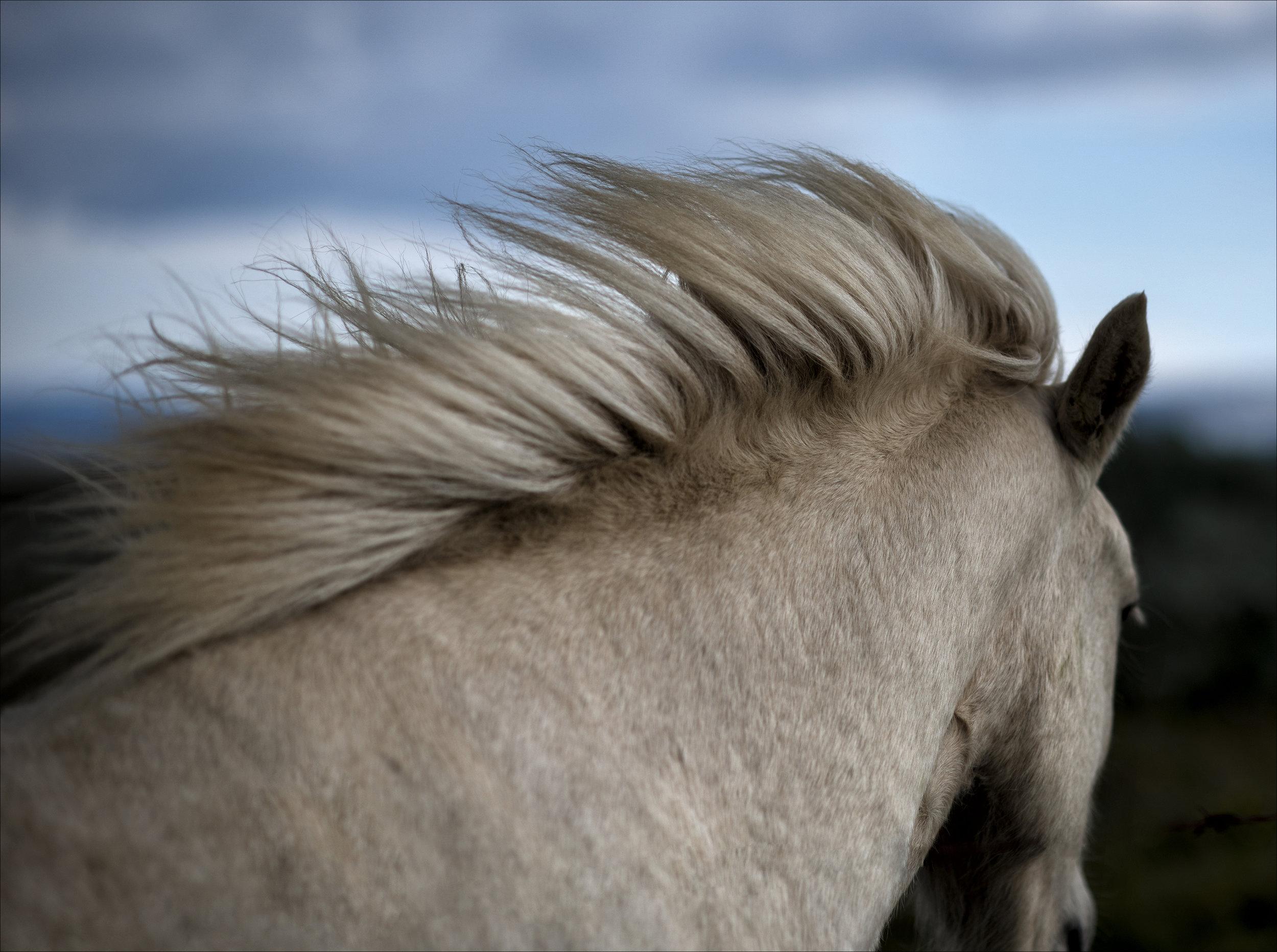 Pony. Gulfoss, Iceland.