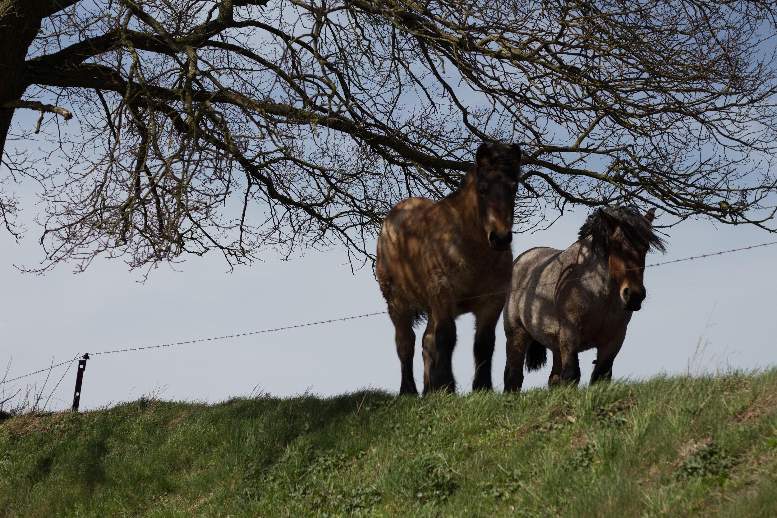 horses_of_ciney