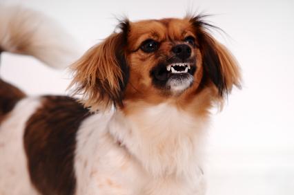 cães agressivos