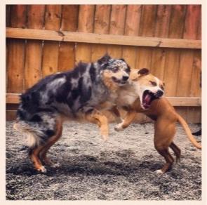 Luna, o Aussie, tem uma história de morder oito pessoas e cachorros, a Geórgia atacou vários cães, agora eles brincam juntos sem nenhum problema.
