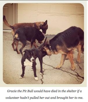 Gracie, a Pit Bull, teria morrido no abrigo se um voluntário não a tivesse puxado e a trazido para mim.