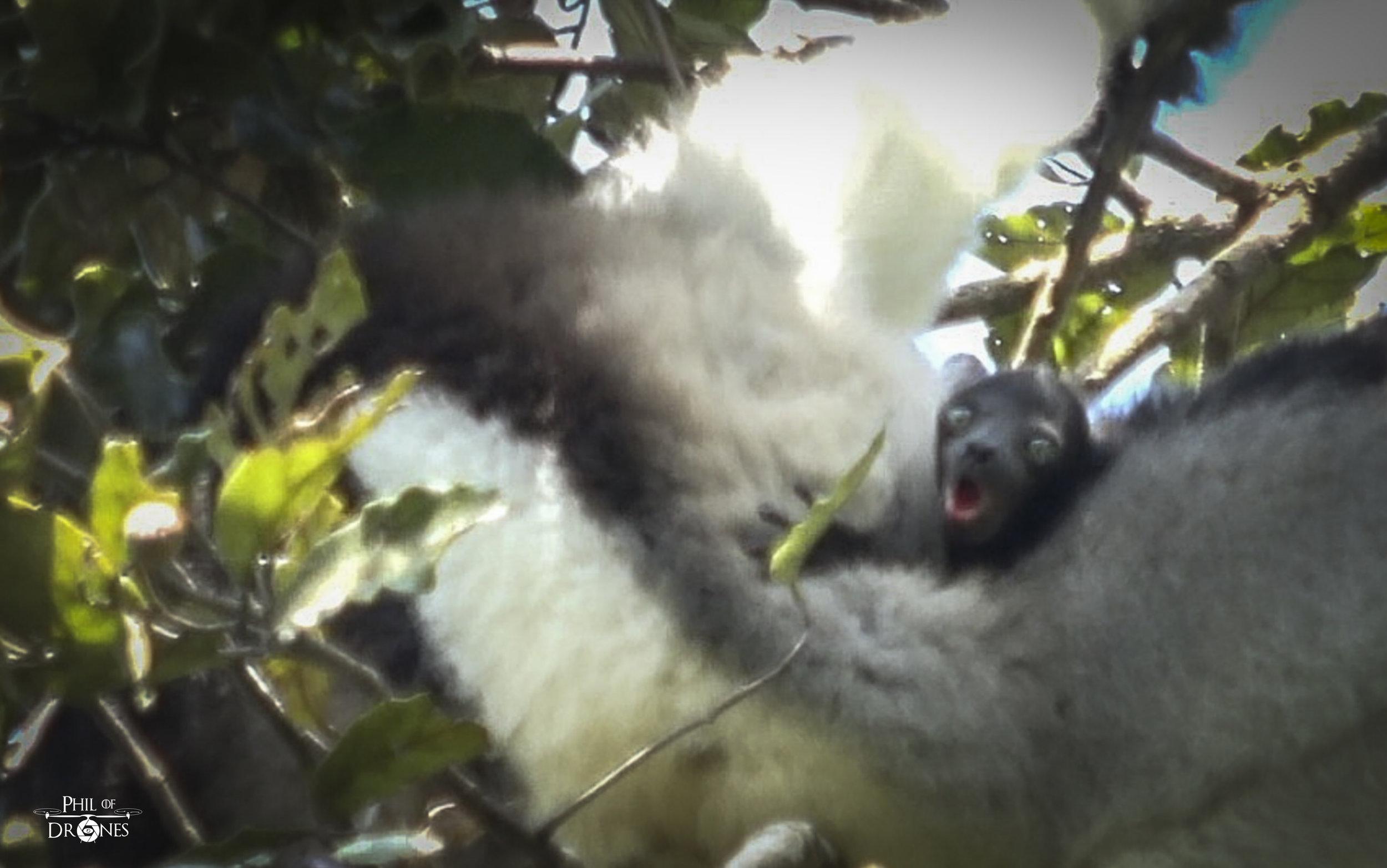 Bébé du lémurien Indri Indri