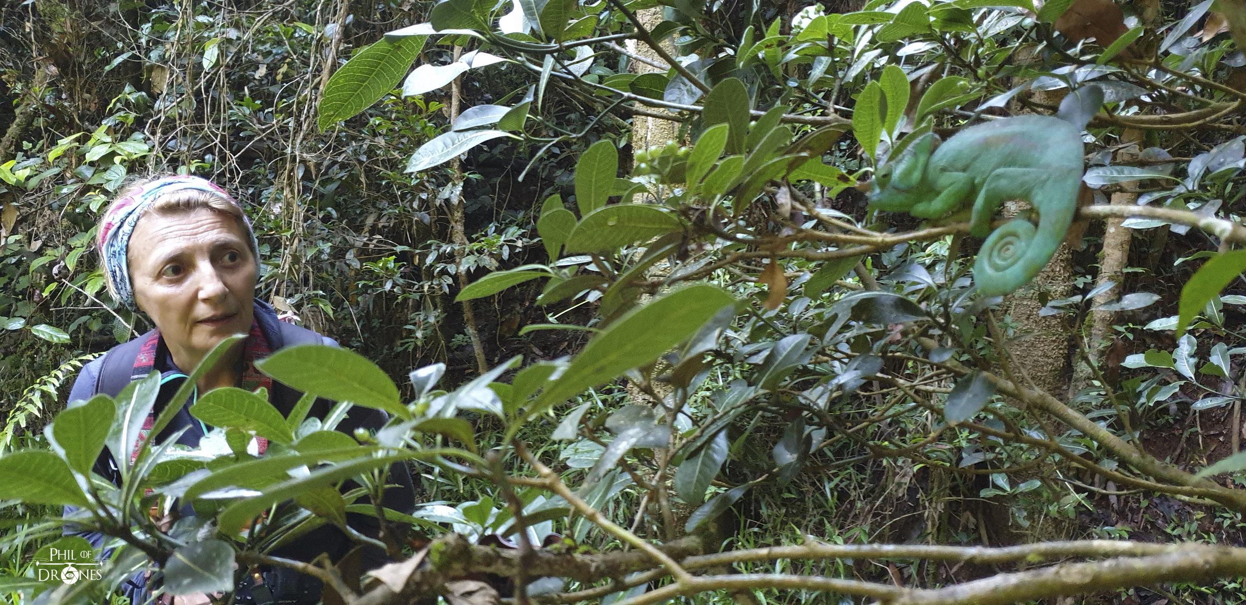 découverte d'un caméléon Fucifer Pardalis, dans la forêt.