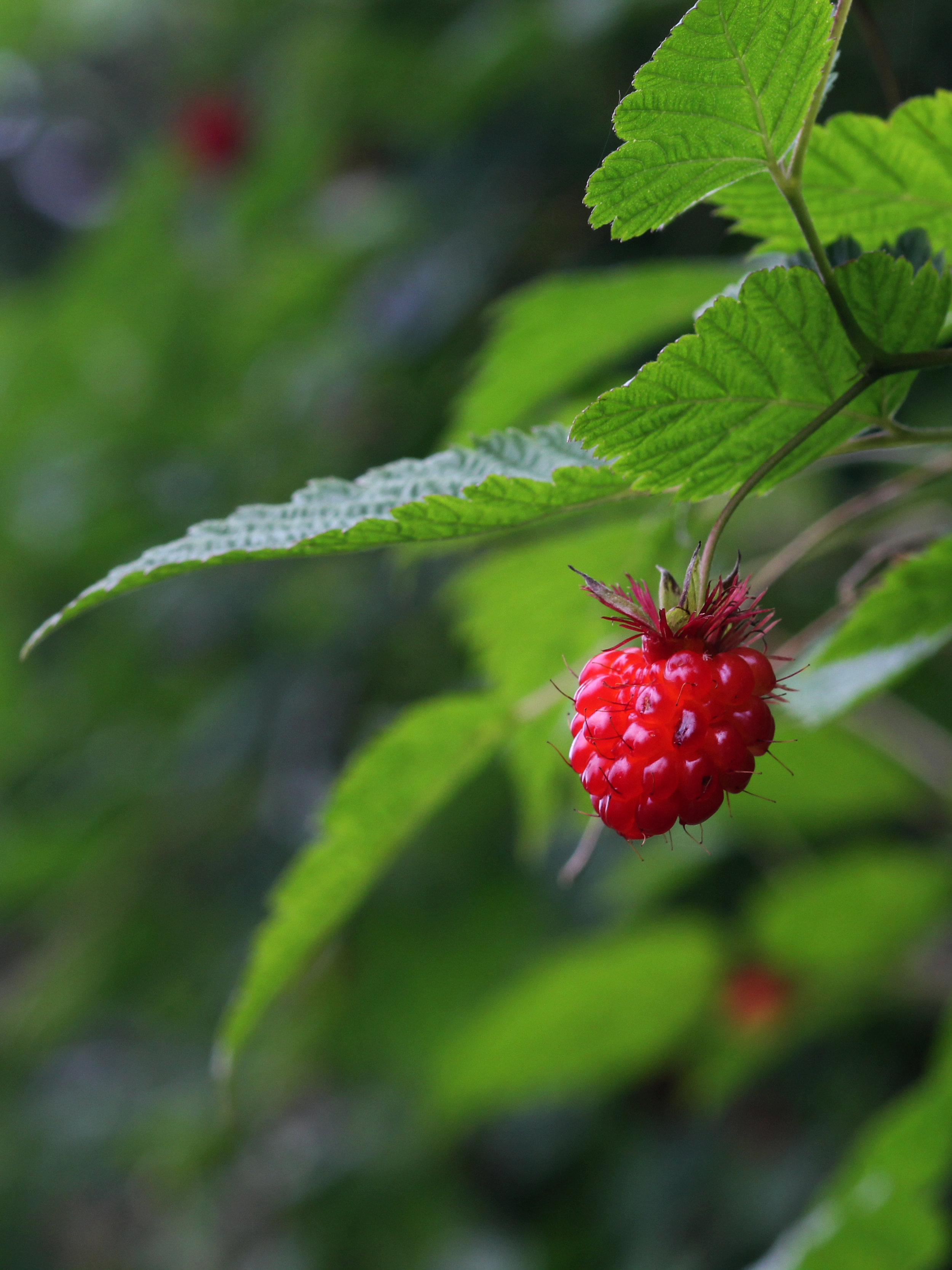 16.07.11_CA_salmonberry_KJC.jpg