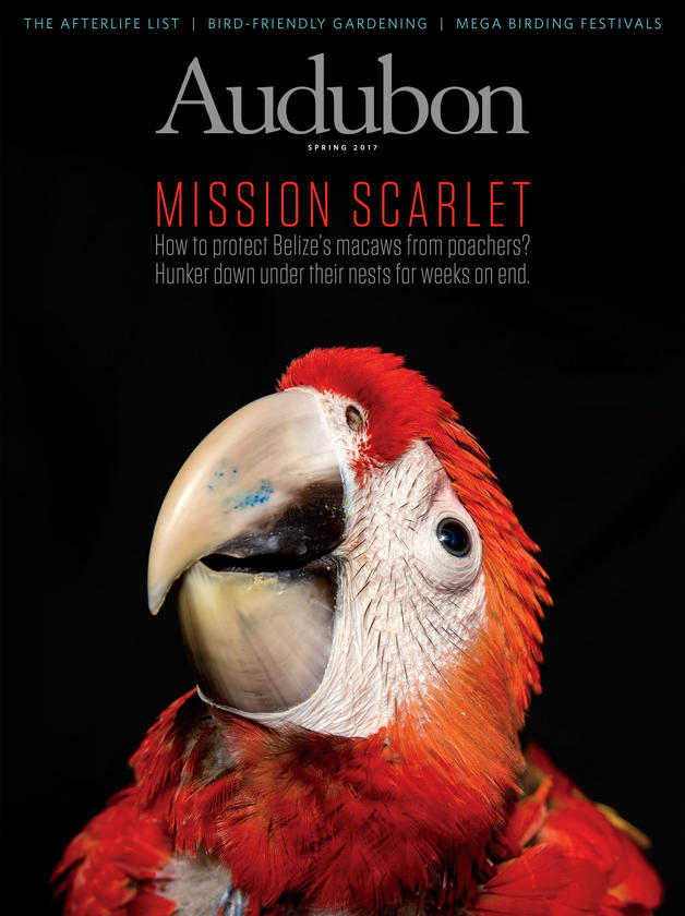 Mission Scarlet - I traveled to Belize to meet the Scarlet Six -- now known as the Belize Bird Conservancy -- a group of men who sleep in the tropical Chiqibul forest under the trees in which Scarlet Macaws nest, in order to protect the nestlings from poaching. They will stay out there for five months during the breeding seasons -- 14 days on, 7 days off -- until every last macaw has fledged or been brought to a captive-rearing facility.