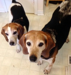 """Popeye """"Pops"""" & Sweet Pea are running & playing together over the bridge. Until we meet again my precious hound dogs. You will be missed everyday."""