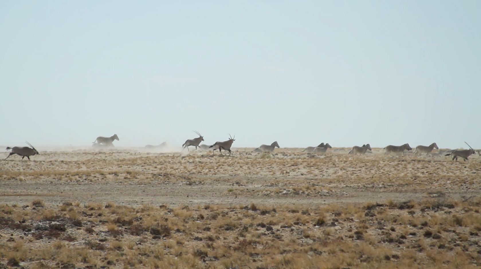 Oryx running in Etosha National Park, Namibia.