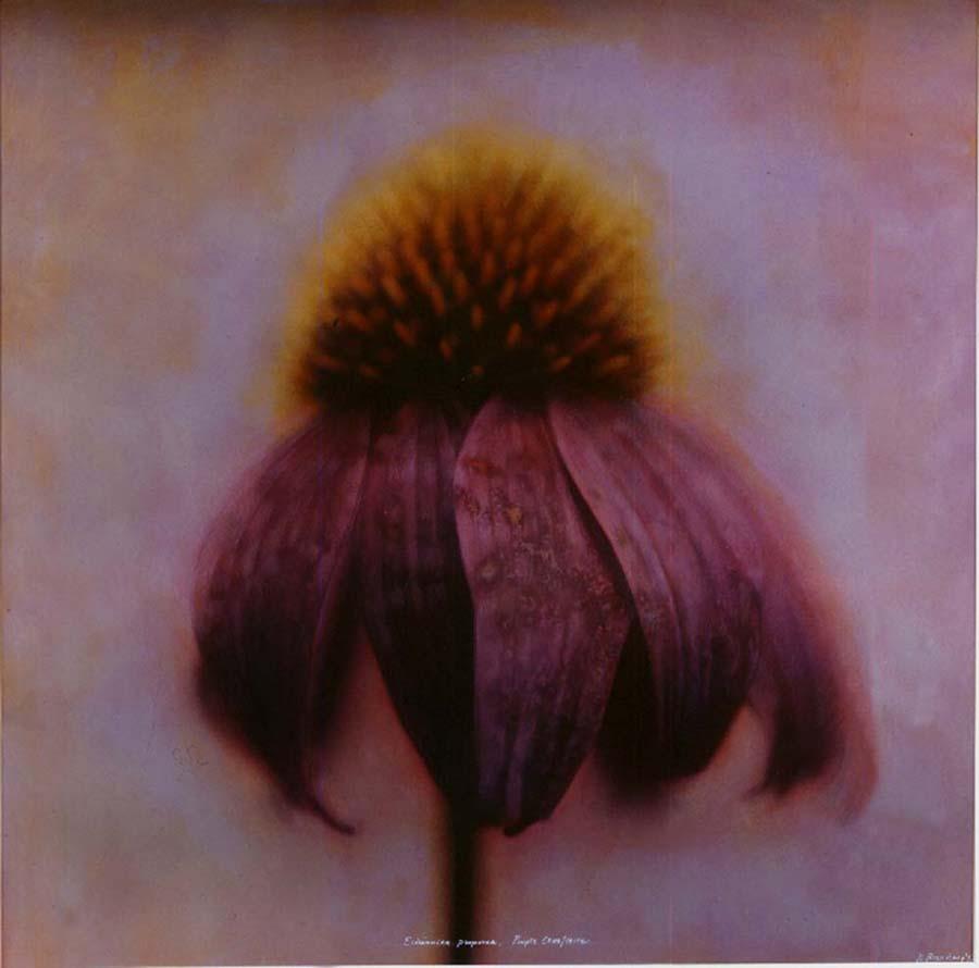 22. Echinacea purpurlus, <BR>Purple Coneflower