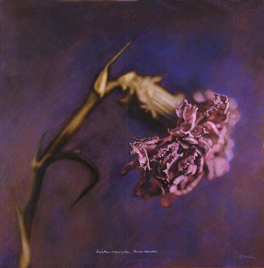 28. Dianthus caryophyllus, <BR>Border Carnation, (Pink)