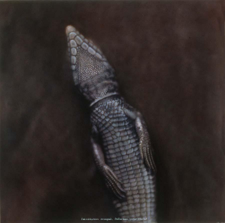 30. Cnemidophorus exsanguis, <BR>Chihuahuan Whiptail