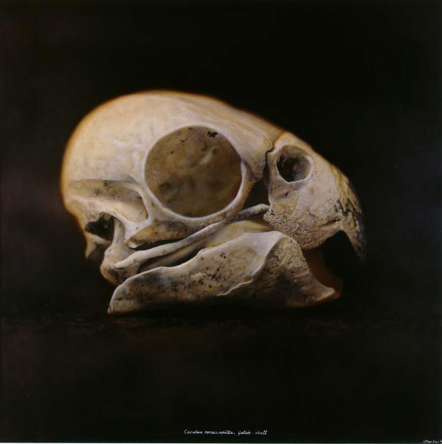34. Cacatua roseicapilla,<BR>Galah, Skull