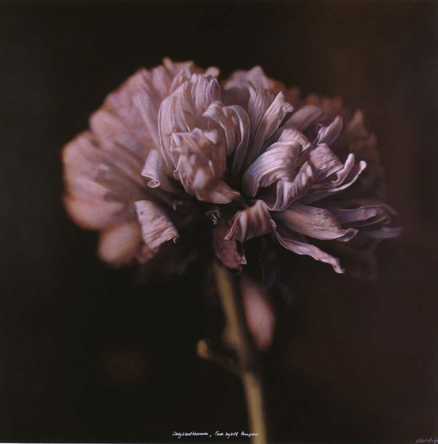 40. Chrysanthemum, <BR>Pink hybrid Pompom