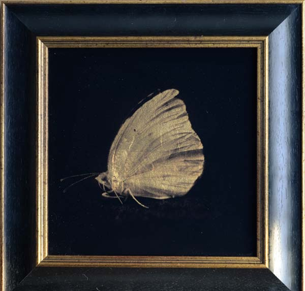 Common Sulfur Butterfly II