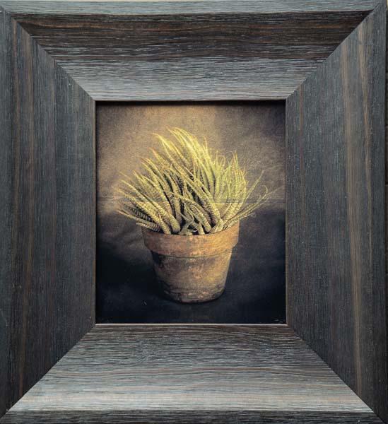 Haworthia Succulent