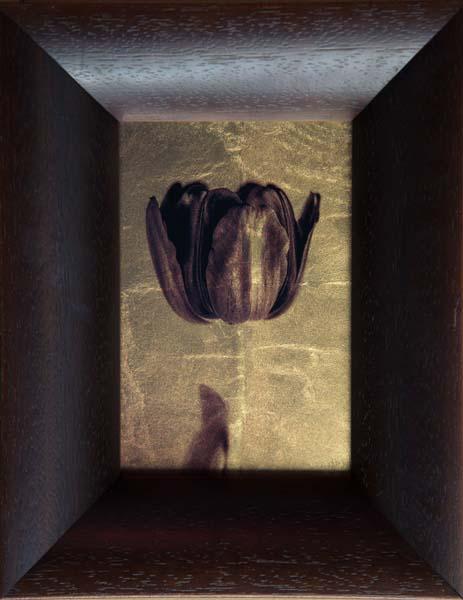 Back Tulip IV