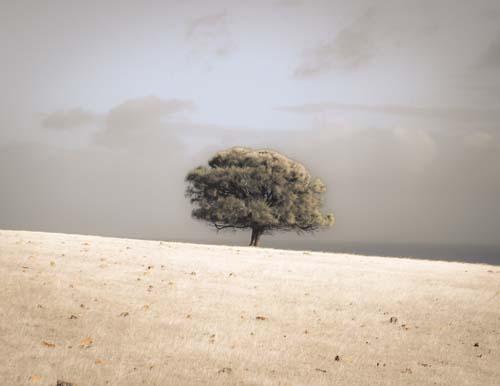 Lone Sheoak Tree by Ocean, Kangaroo Island, South Australia