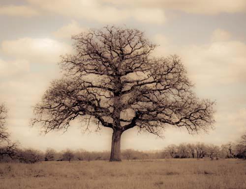 Pecan Tree, Winter, Plum Creek, Texas