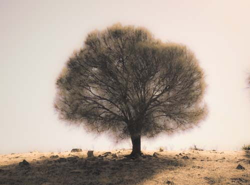 Back-lit Sheoak Tree, Kangaroo Island, South Australia